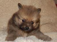1 adorable male left he will be ready at 8 weeks old