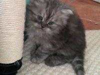 Beautiful Doll face Persian kittycats. He has his