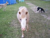 1 miniature horse and 1 miniature horse cross and 1