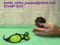 Type of Dog/Puppy: Maltese-Yorkie Mix- Morkie
