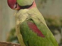 I have a pair of Moustache Parakeets for sale $500. .