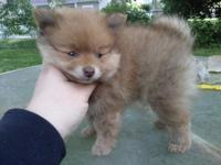 We have 1 male Pomeranian puppy for sale. He is a rare