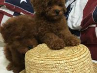 10weeks old poodle for adoption. Has second set of