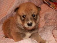 we have one purebred male shiba inu male puppy still
