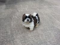 Only 1 left! Friendly and lovable male shih tzu new