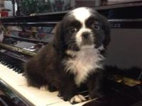 We have one more Shihtzu puppy left. Waiting on his