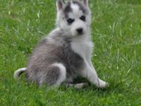 We have a beautiful trash of Husky pups available for