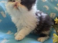 We have 1 sweet CFA Persian Kitten readily available.