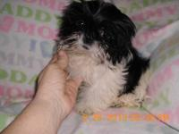 Mommy Fiona is a 7 lb pure bred AKC blk & wht shih tzu
