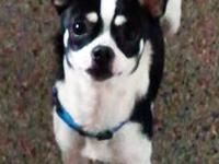 I have a beautiful chihuahua / Alaskan Klee Kai (