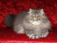 Meet Dani, a blue tabby female Persian. She is a