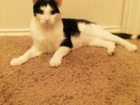 Black and white cat for adoption. He is good with other