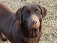 AKC Chocolate Lab, 28 Titles In 6 Generation Pedigree.