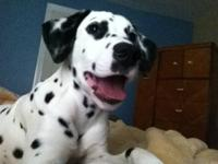 Sage is a fun loving happy energetic baby Dalmatian!