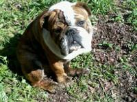 She is a 1 year old solid white english bulldog with a