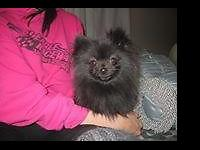 Gooseberry is a stunning 1 year old Female Pomeranian,