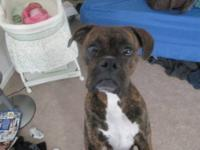 We have a Reverse Brindle Female Boxer. Her name is