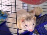 I have a 1 year old male ferret that is very tame and