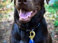 I have a one years of age HANDSOME chocolate laboratory