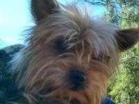 1 year old male yorkie not fixed. About 5 lbs a little