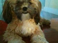 1 Year Old Shih Tzu For Sale In Richmond California Classified