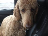 Beautiful apricot intelligent standard poodle in