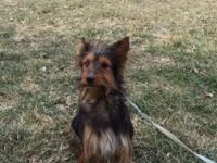 1 year old Yorkie mix searching for a fantastic home!