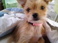 I have a 1 yr old beautiful and sweet Chorkie for sale,