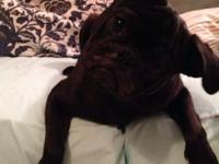 Pug Black puppy for Sale in Ocala, Florida Classified