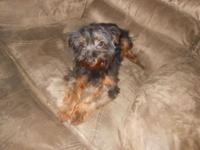 This is Baxter , he is a Ckc reg yorkie, hes about 6-7