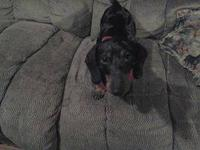 I have a 1 yr old male mini dapple dachshund, he is