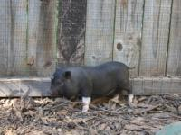 1 year old female miniature pig- Black with white legs.