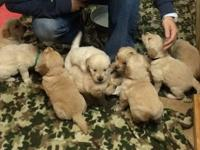Our loving dogs Teddy & Lola had 10 beautiful puppies