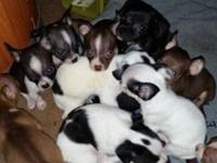 I have 10 Adorable Chihuahua Puppies !! All are C.K.C.
