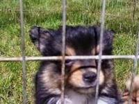 2 litters of pomeranian puppies, one male tri color