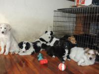 We have up for adoption 10 Collie/Aussie puppies at 9