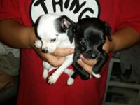 I have 10 C.K.C. Reg. Chihuahua Puppies !! They have