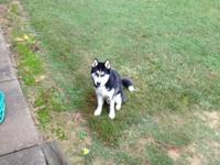 10 month old Siberian husky male. CKC registered. He is