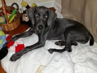 10 Month Old Female Unaltered Beautiful Blue