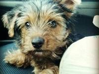 10 Month old black and tan purebreed Yorkie, with