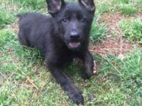 I have 3 female AKC German Shepherd puppies! They are