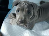Beautiful 10 week blue nose pitbull, with all shots