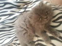 I have a 10 week old beautiful Blue Persian Male Kitten