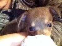 I have to rehome my 10 week aged chihuahua puppy, her