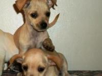 Tan color Male & Female 10 wks old Current on puppy