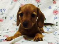 4 Chiweenie puppies for sale, all vet checked, up to