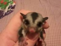 I am selling my female sugar glider. She will be 10