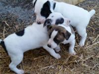 10 week old jack russel male puppy shots an wormed call