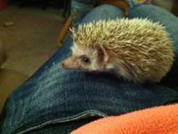 10 week old baby cinnamon male hedgehog needs a new