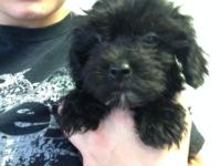 2 male shorkie terriers 1 all black 1 black/tan * up to